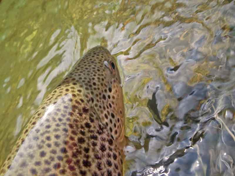 Trout and smallmouth bass fly fishing report podcast for Fly fishing podcast